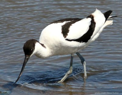 Avocet drinking